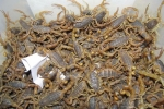 蝎子养殖温度介绍,养蝎温度多大合适,如何控制?