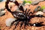 蝎子繁殖之体内孵化,蝎子是如何体内孵化的?