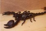 蝎子养殖方式之箱养蝎子,如何用箱子来养殖蝎子