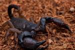蝎子生殖系统介绍