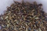 季节对蝎子引种的影响