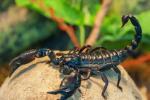 蝎子的繁殖